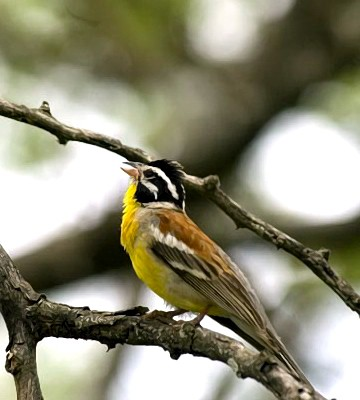 golden breasted bunting jpg 1200x900