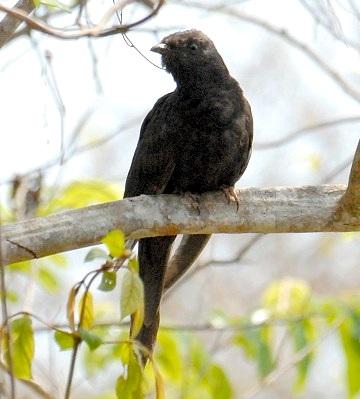 Black cuckoo bird - photo#25