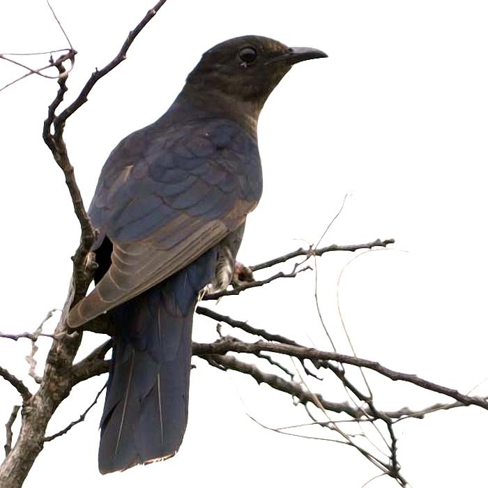Black cuckoo bird - photo#2
