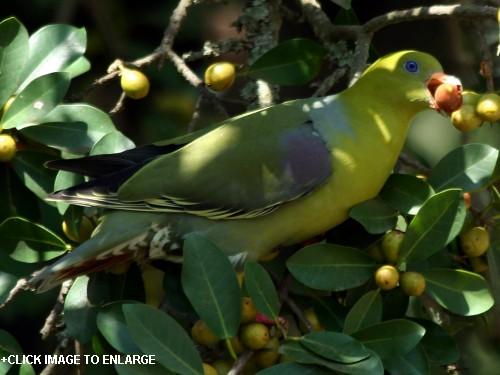 http://www.tanzaniabirds.net/African_birds/Pigeon_African_Green/AFRICAN_GREEN_PIGEON_treron_calva_AnabelHarries_2006_07_24.jpg