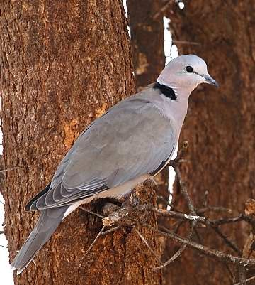 safari ecology common birds ring necked dove