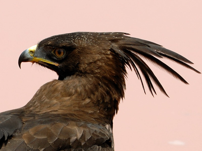 Long-crested Eagle (Lophaetus occipitalis) adult perched | the ...
