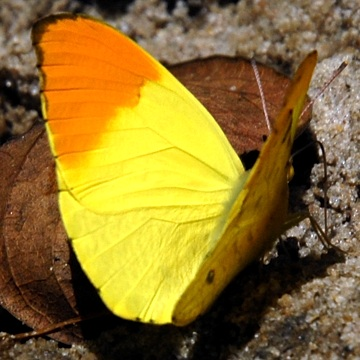 Sưu tập Bộ cánh vảy 3 - Page 8 Eronia_leda_Orange-and-Lemon_SuledoForest_Trude_8_14